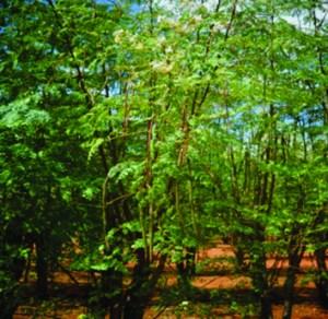 Photograph of Moringa oleifera tree growing at the experimental farm of University of Pretoria, Pretoria, South Africa (H. Fotouo).