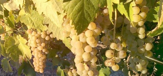 Airén Grapes in central Spain