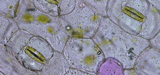 Guard cells around stomata
