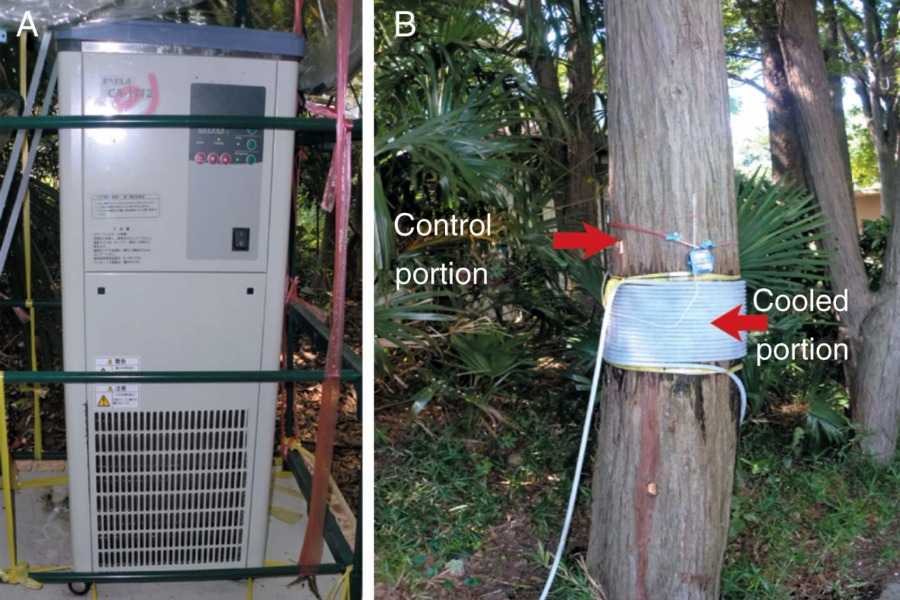 Latewood formation by localized cooling of stems in conifers