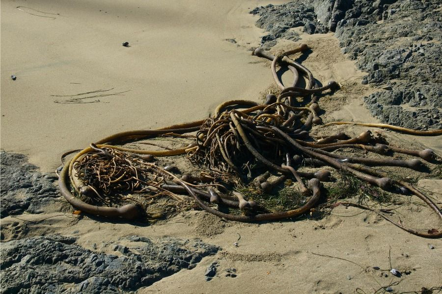 Kelp sieve tubes cooperate better