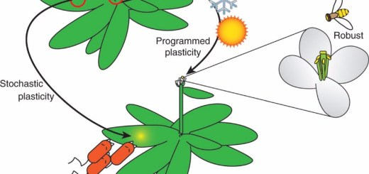 Changing environments induce phenotype-specific responses. Phenotypic responses to changing environments range from plastic to robust. Environmental changes that occur predictably lead to programmed responses. Shown here is the transition between vegetative and reproductive growth induced by seasonal exposures to low and then high temperatures.