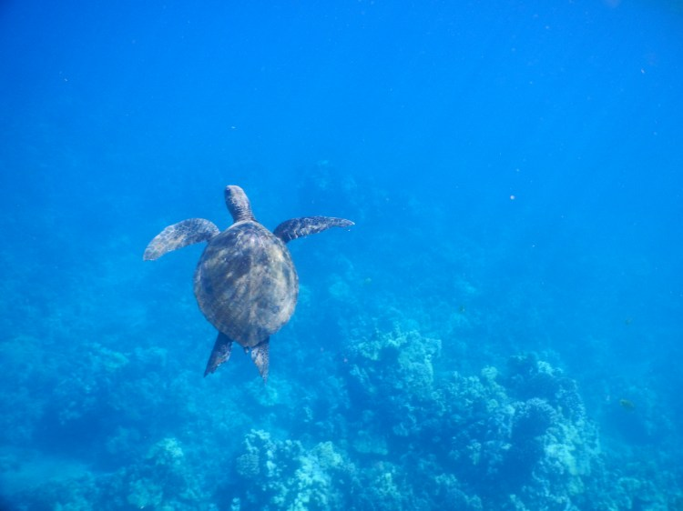 snorkel with turtles turtle town maui hawaii