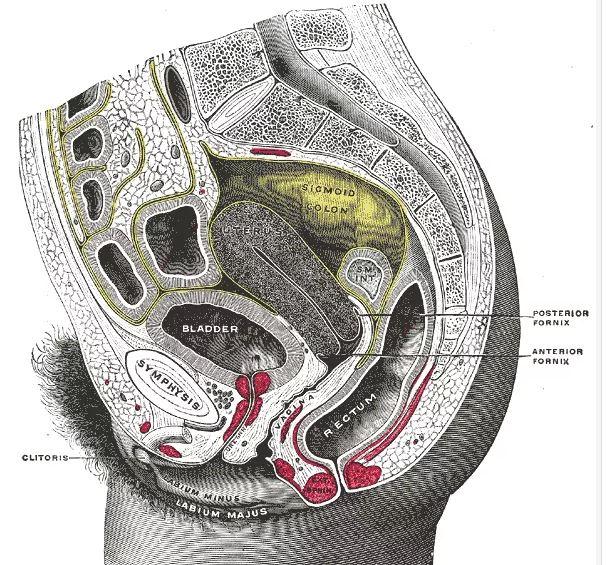 স্ত্রী ট্রাঙ্কের নিচের অংশের স্যাগিটাল অংশ (পার্শ্বীয় দৃশ্য)