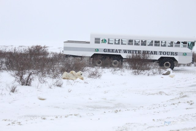 Polar bear in front of tundra buggy in Churchill, Manitoba
