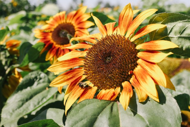 Sunflowers at Taves Family Farm in Abbotsford, BC
