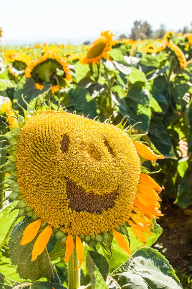 Face in sunflower at Maan Farms