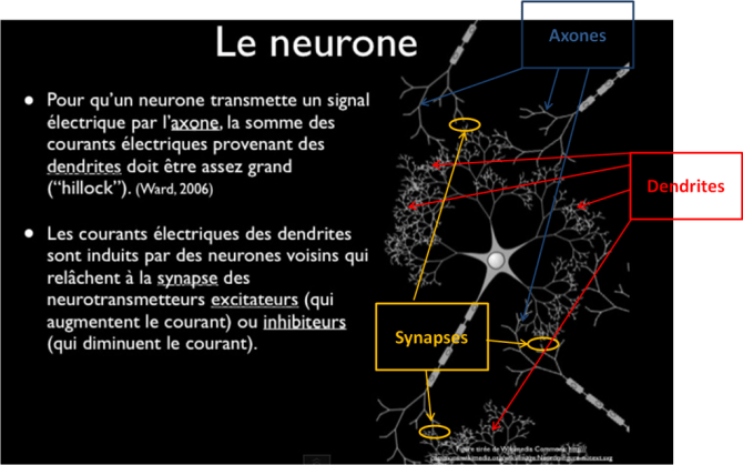 neurones neuroéducation