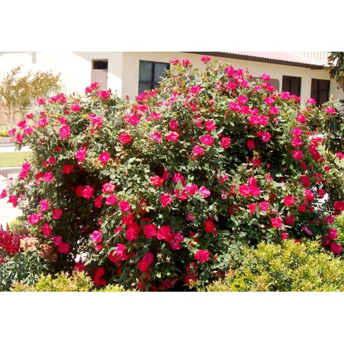 Medium Crop Of When To Prune Knockout Roses
