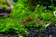 Resident Red Cherry Shrimp