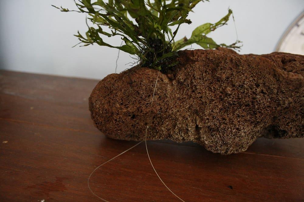 Zorg dat de knoop niet te los is, anders heb je kans dat je de plant morgen ronddrijvend in het aquarium vindt in plaats van netjes op de steen!