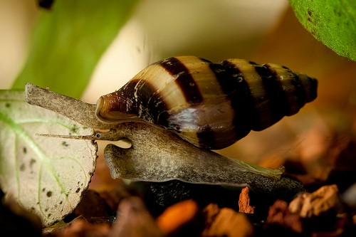 Aquarium snails you DO want in your tank!