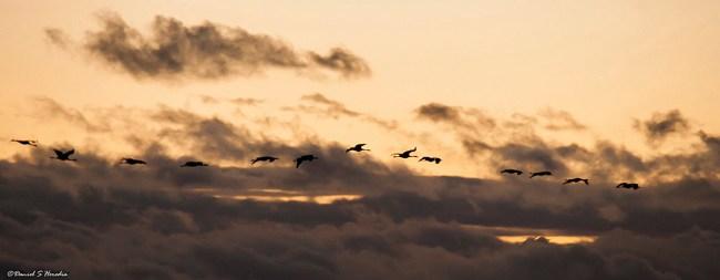 Grullas sobrevolando la laguna (foto Daniel S. Heredia).