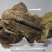 Trilobites del Cámbrico.