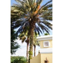 Small Crop Of Medjool Date Palm