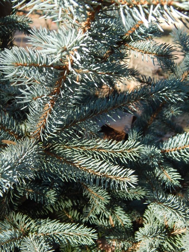 Fullsize Of Fat Albert Blue Spruce