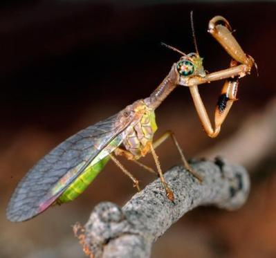 A real Mantis Fly