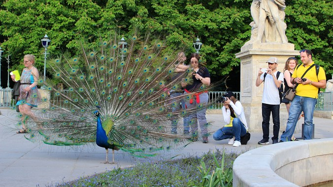Solo travel in Poland. A peacock posing for tourists in Łazienki Park, Warsaw.