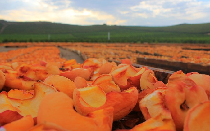Peaches drying in the sun at Gleanings for the Hungry.