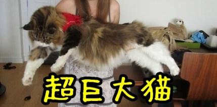 メインクーン(猫)の鳴き声はどんな?写真や動画!価格や性格なども!