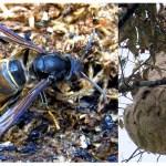ツマアカスズメバチの毒の強さはどのくらい?人への被害や対処法は?