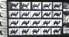 Corsa del cammello
