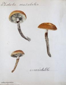 Jean-Claude Fourneau pholiota mutabilis pholiote changeante