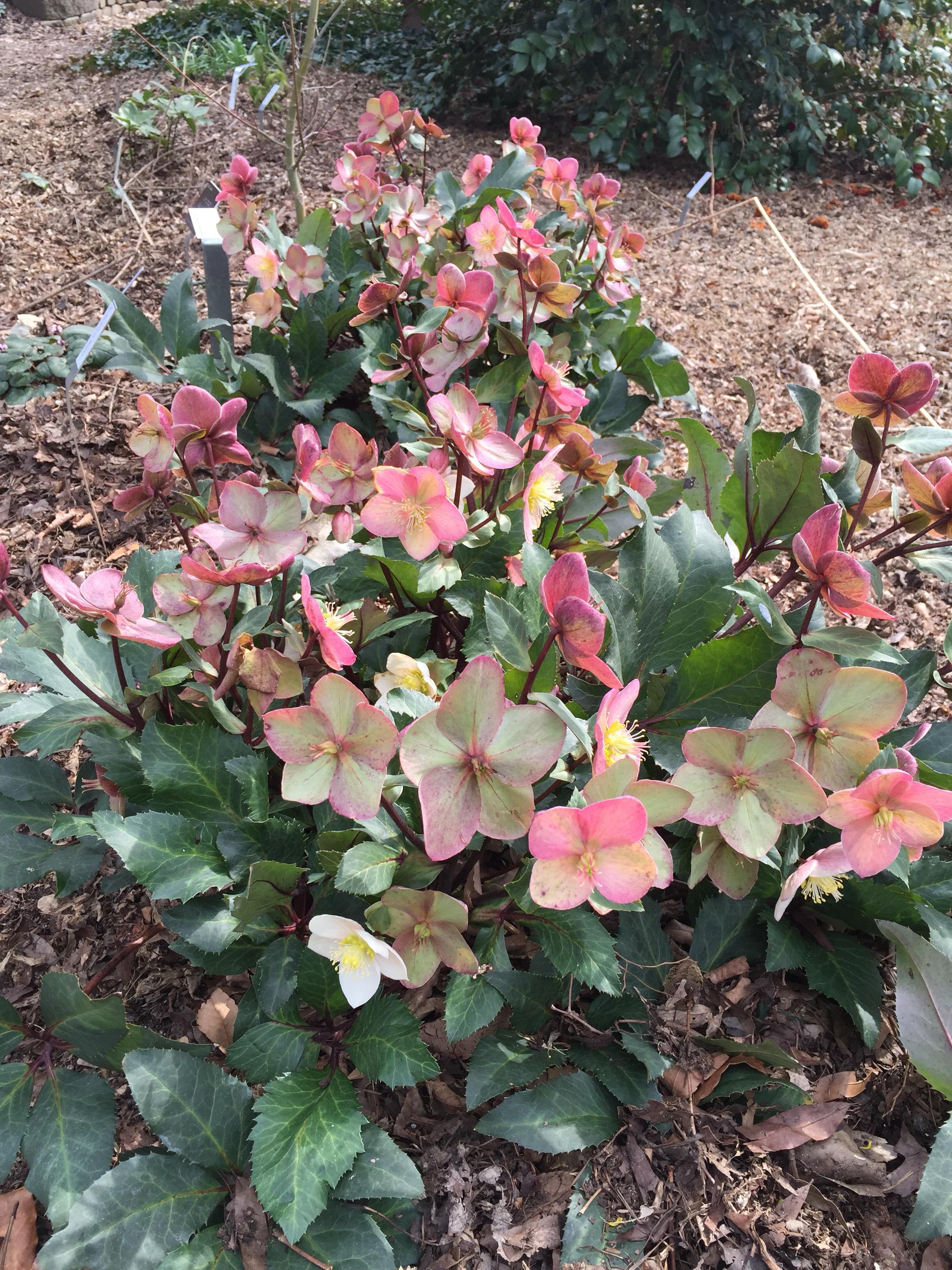 Hilarious Rare I Purchased A Few New Ones February 2016 Arthur Plant Delights Nursery Coupon Code Plant Delights Nursery Hours It Was Winter Open House At Plant Delights Y Are Awell Known Vendor houzz-03 Plant Delights Nursery