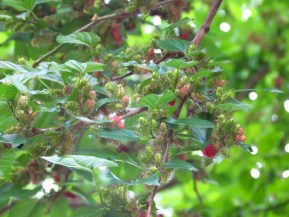 Mulberries are a good source of antioxidants