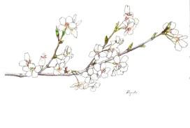 サクラ(Cherry blossom)