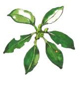 シキミ(Japanese star anise)