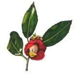 ヤブツバキ(Camellia japonica L)