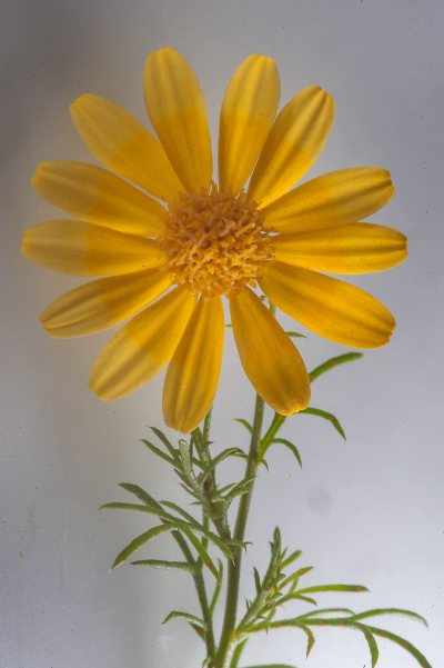 Daisy flower - search in pictures