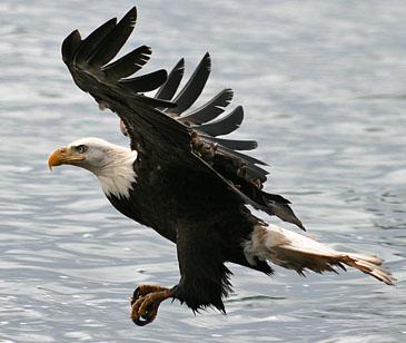 bird_Eagle