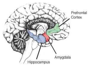 image-showing-the-hippocampus-in-the-human-brain-1441949B8610D5A344B
