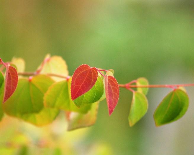 Katsura (CC) foto av https://www.flickr.com/photos/hmj/