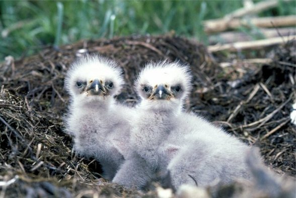 Image result for baby eagle