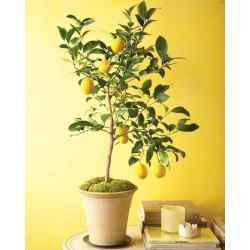Small Crop Of Dwarf Orange Tree
