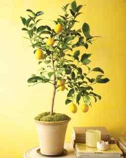 Small Of Dwarf Orange Tree