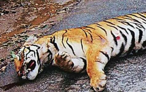 A tiger was allegedly killed by a park guard in Pench tiger reserve, India