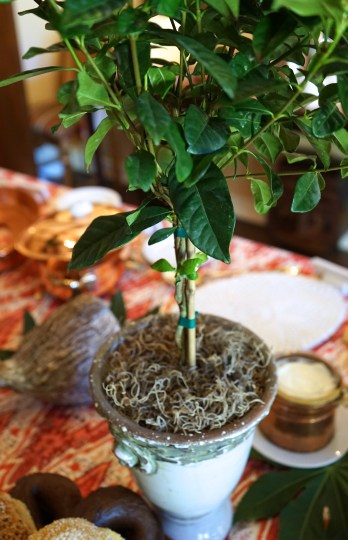 Miniature gardenia trees from Rolling Greens, Los Angeles.