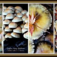 Ringless Honey Mushrooms-Edible Wild Varieties or Poisonous?