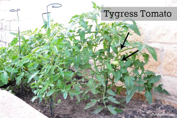 How does your Garden Grow? Tygress tomato plant