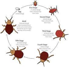 مكافحة حشرة البق