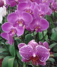5_orchidphalaenopsis-215h