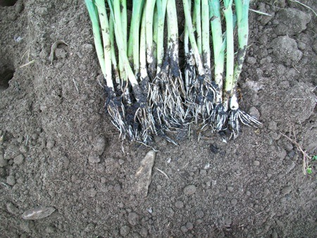 Comment bien cultiver les poireaux pour une belle r colte - Comment planter des poireaux ...