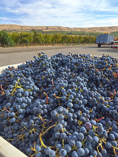 Grapes from Artz Vineyard in Red Mountain