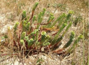 Euphorbia maritima