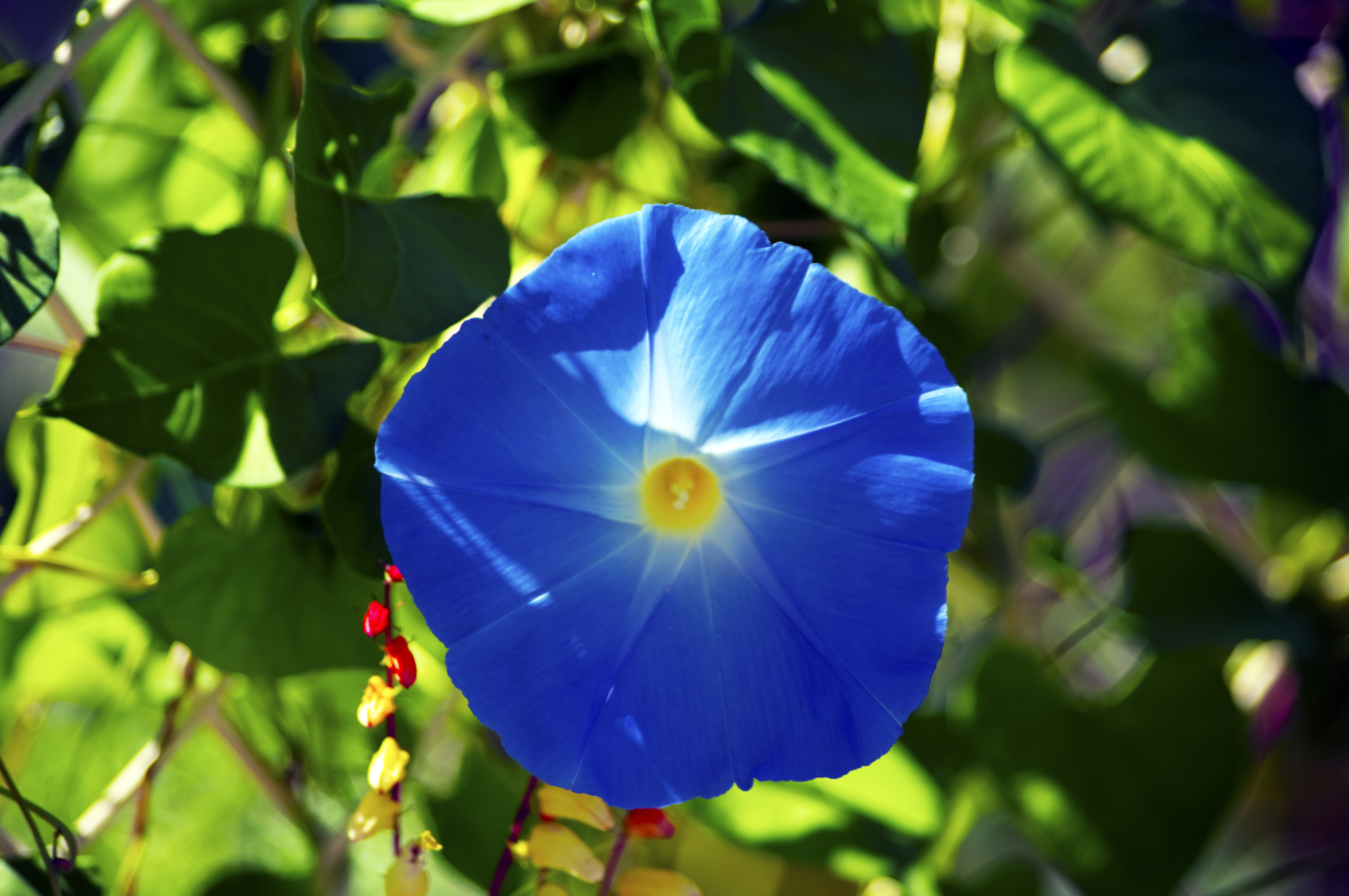 Pool Morning Glory Photo Is Copyrighted See Possible Useinformation Good Day Heavenly Blue Morning Glory A Bloom Photoindex Heavenly Blue Morning Glory Seeds Sale Heavenly Blue Morning Glory Seeds Dos houzz-03 Heavenly Blue Morning Glory