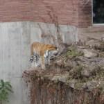 A tiger.